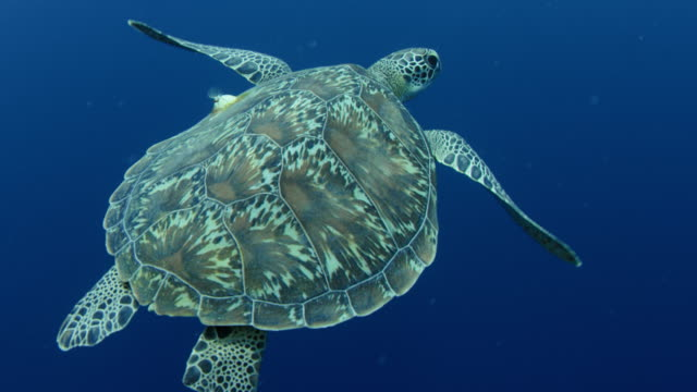 Green sea turtle swimming in the deep. Green sea turtle, Chelonia mydas,  swimming in the deep, WAKATOBI, Indonesia, slow motion aqualung diving equipment stock videos & royalty-free footage