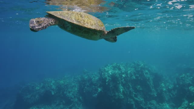 Green sea turtle swimming in the ocean Green sea turtle swimming in the ocean near coral reef in slow motion, environmental conservation, endangered species tortoise stock videos & royalty-free footage