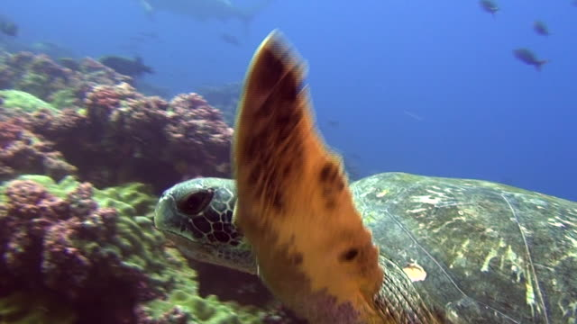 green sea turtle underwater on background of hammerhead shark galapagos islands - protezione video stock e b–roll