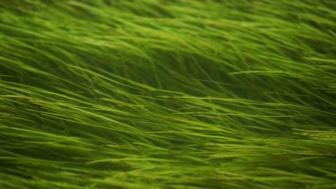grüne seegras schweben im wasser. seetang ist eine gemeinsame wasserpflanze. zostera marina wächst im fluss, see, meer oder in den ozean. - gras stock-videos und b-roll-filmmaterial