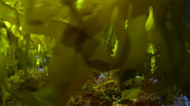 Green Seaweed Green Seaweed in Hayama,Kanagawa. kelp stock videos & royalty-free footage