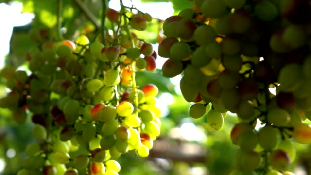 Green seedless grapes on the vine Slow motion video