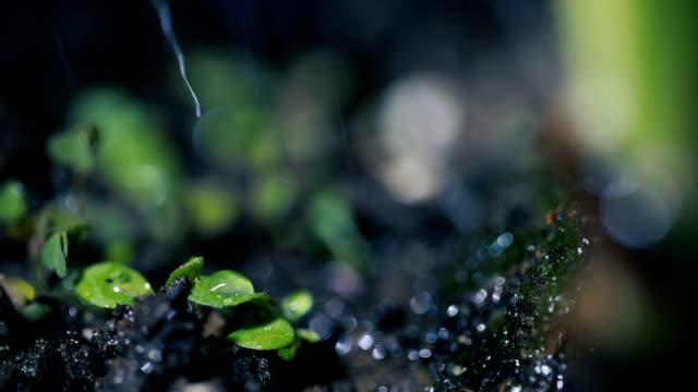 Jeune pousse verte de plus en plus sur le sol sous la pluie - Vidéo