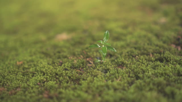 green seedling growing on the moss ground in the rain. - muschio flora video stock e b–roll