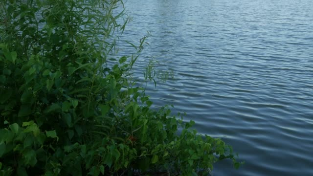 green shrubs swaying with the breeze on a lakeside - cespuglio tropicale video stock e b–roll