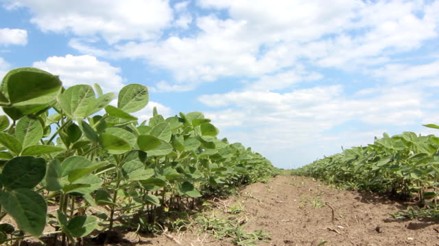 Green soybean plants close-up Rows of soy plants video