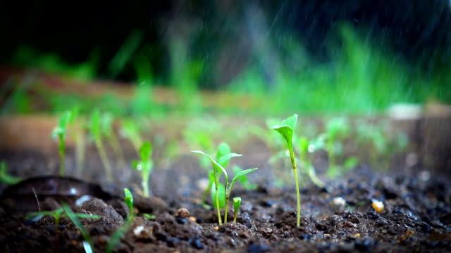 Grüne Spross wächst am Boden im Tag zu regnen. Zeitlupe erschossen – Video