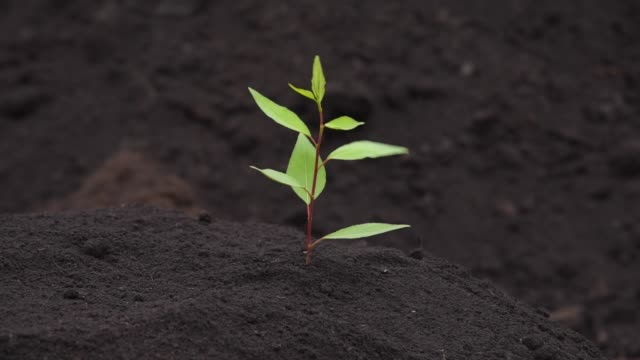 Green sprout grows on fertile land, sways in the wind