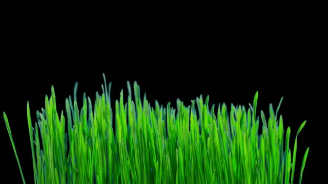 green sprouts of wheat grow, time-lapse with alpha channel - grass isolated video stock e b–roll