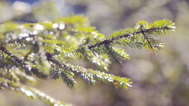 green spruce branches close-up. slow motion video
