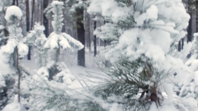 Green spruce in the snow closeup video