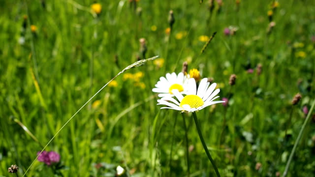 Green sunny meadow with various flowers in HD video