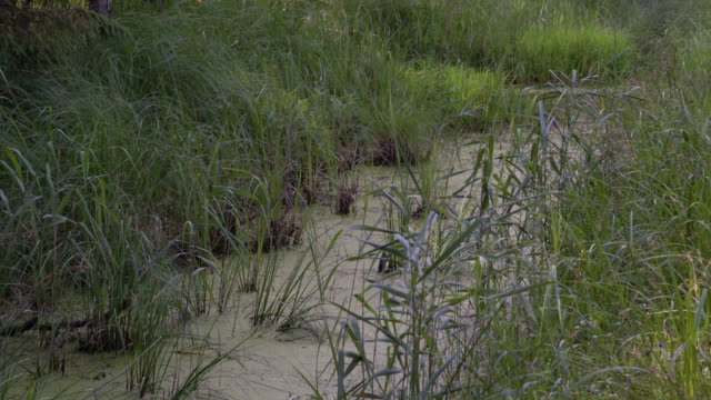 Green swamp with algae, grass, trees and plants in the wilderness. Protected park area in the wild, forest conservation