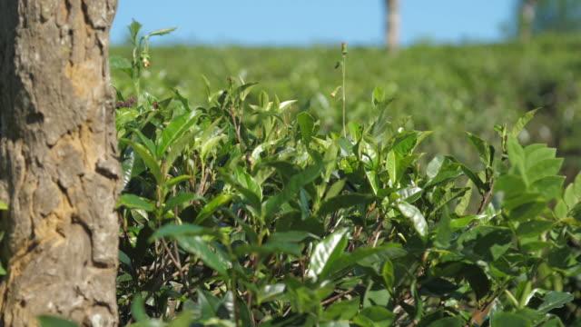 綠茶灌木附近的老樹在寬場慢動作 - 枝 植物部分 個影片檔及 b 捲影像