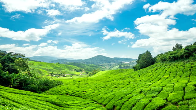 Green Tea Cameron Highland. video