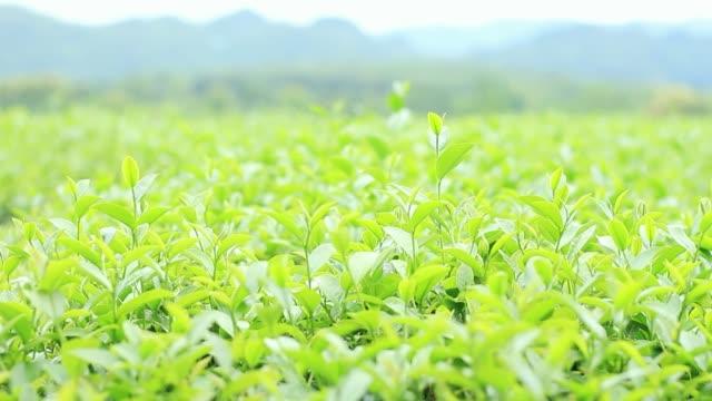 güneş ışığı ile yeşil çay. - start stok videoları ve detay görüntü çekimi