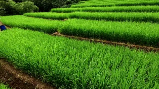 Green Terraced Rice Field in Chiangmai video