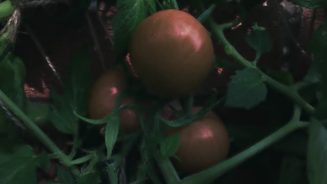 Green tomato ripening to a red tomato time lapse