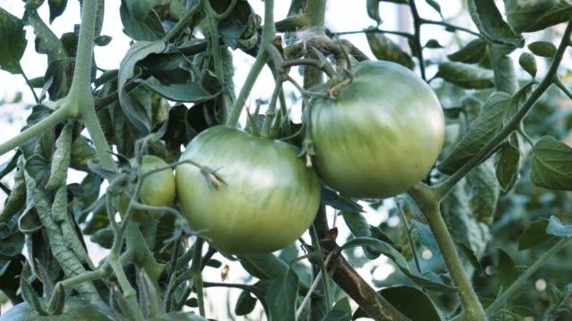 つる植物で育つグリーントマト - 熟していない点の映像素材/bロール