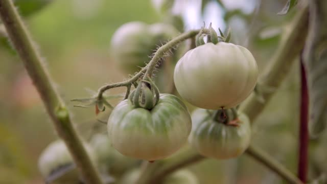 green tomatoes paprika on the farm. organic food - crucifere brassicali video stock e b–roll
