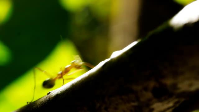 green tree ant video
