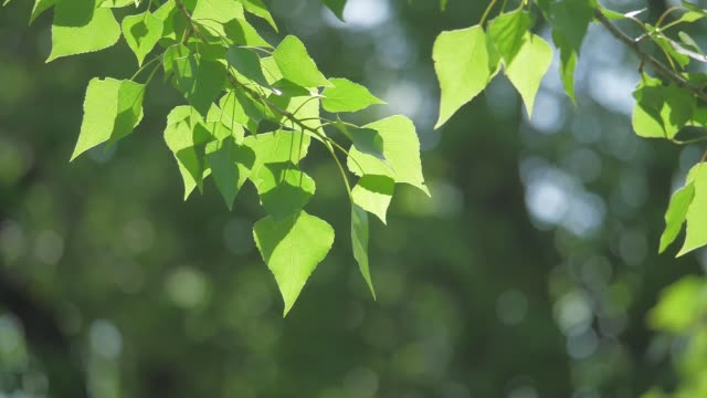 green tree branch on a white background nature. sunlight leaves trees swaying in the wind slow motion video. spring concept nature lifestyle - vídeo