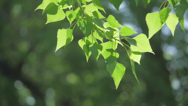 green tree branch on a white background nature. sunlight leaves trees swaying in the wind slow lifestyle motion video. spring concept nature - vídeo