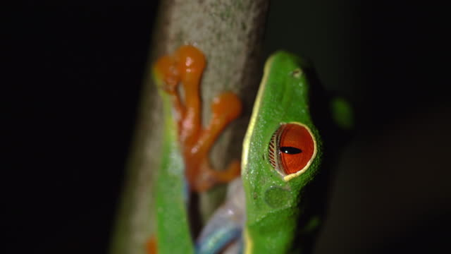CU Green Tree Frog climbing on a twig video