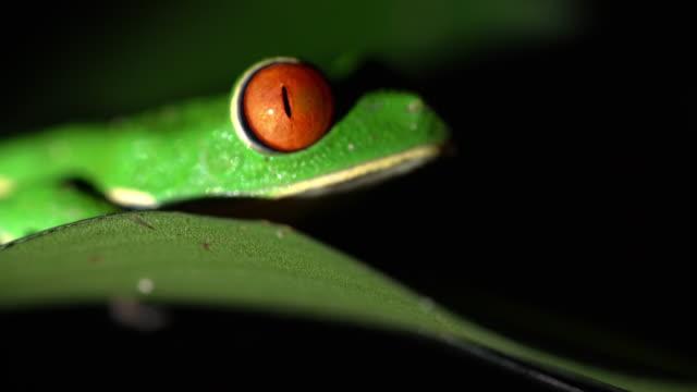 CU Green Tree Frog on a leaf video