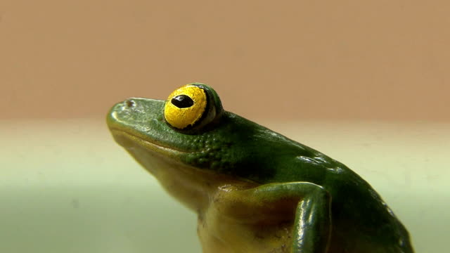 Green Tree Frog video