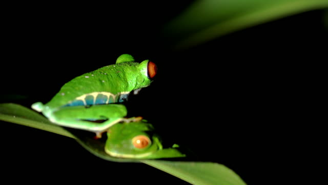 MS Green tree frogs video