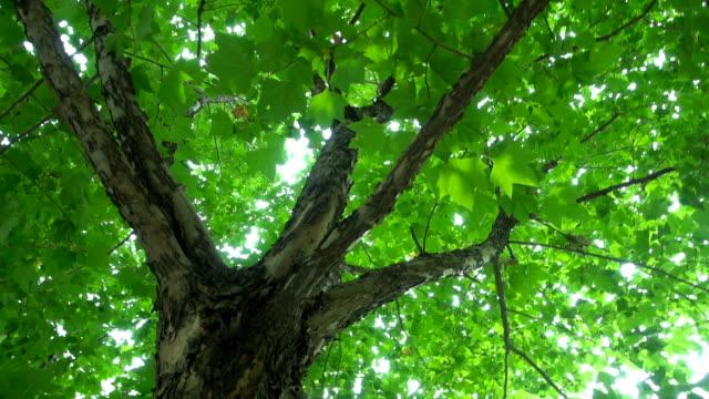 grünen baum blätter - ahorn stock-videos und b-roll-filmmaterial