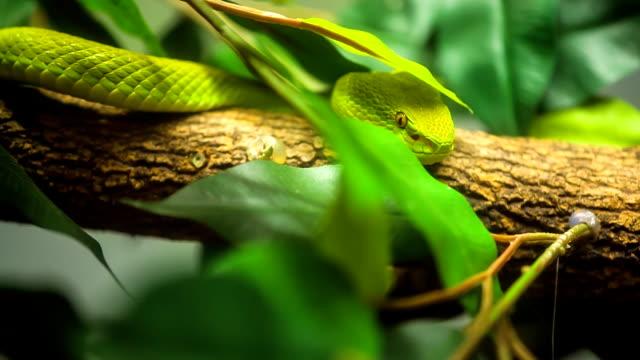 Green tree python close up. video