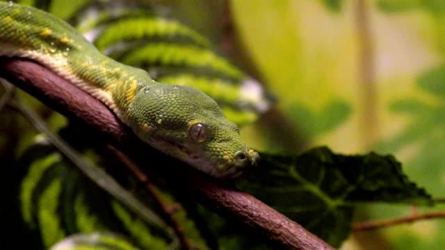 Green Tree Python Close-Up video