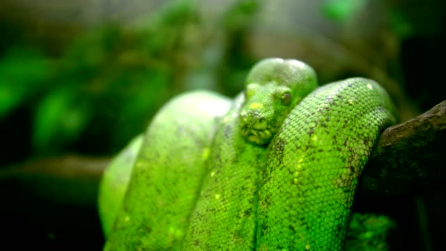 Green tree python - Morelia viridis video