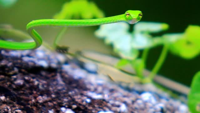 Green Tree snake video