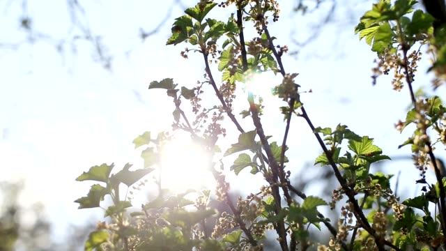 green twigs with blooming flowers of red and black currants on a background of sunny sunset, copy space - ribes rosso video stock e b–roll