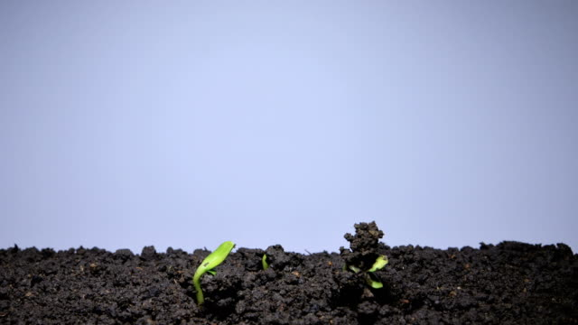 Green vegetable marrow sprout growing video