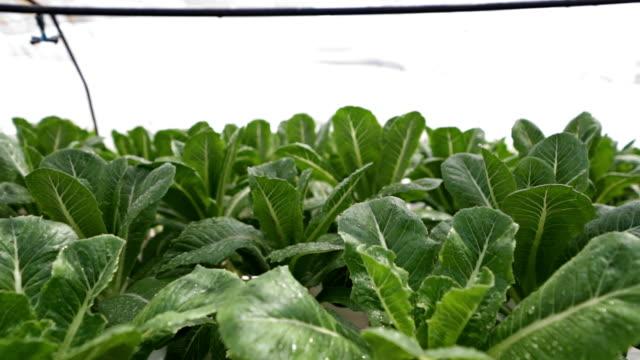 vídeos y material grabado en eventos de stock de verde verduras-pak choy en la granja - pak choy