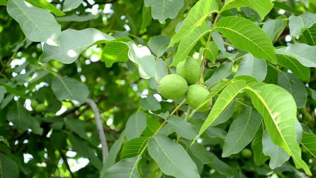 Green Walnuts in Tree