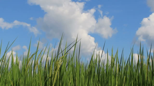 Green Wheat and blue sky
