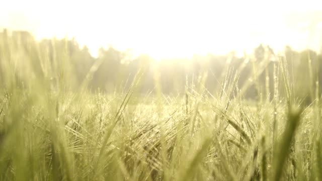 vídeos de stock e filmes b-roll de trigo verde coberto com o orvalho da manhã no nascer do sol - vídeos de milho