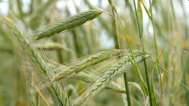 緑の小麦の穂が風に揺れて - 熟していない点の映像素材/bロール