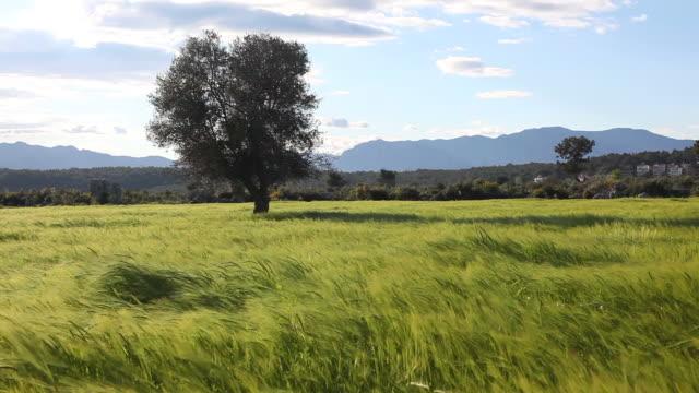 Green wheat field in heavy wind near Antalya, Turkey video