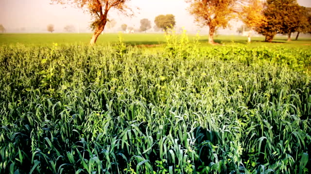 Green wheat field in the early morning video