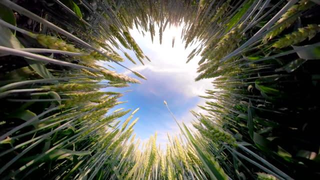 vídeos y material grabado en eventos de stock de campo de trigo verde - imagen en movimiento imágenes