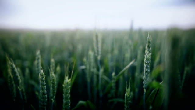 Green wheat field HD wide angle dolly shot of a green wheat field, with shallow depth of field. barley stock videos & royalty-free footage