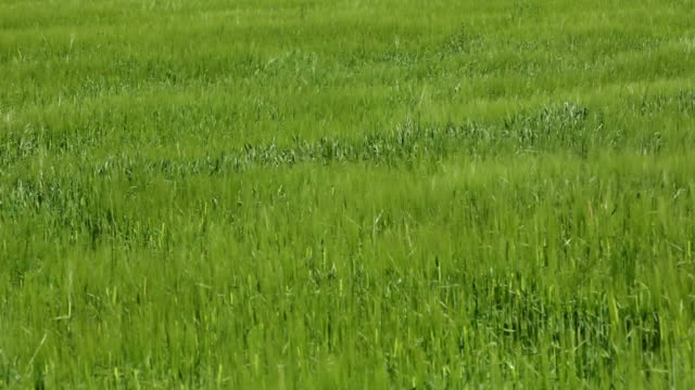 Green wheat field  monoculture stock videos & royalty-free footage