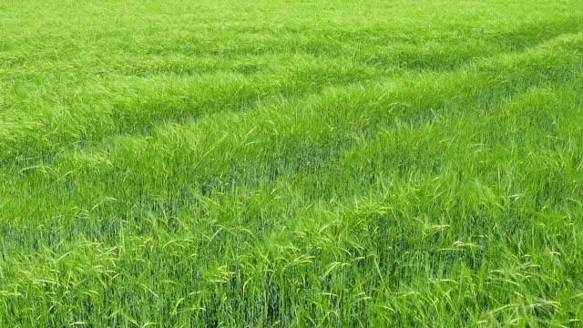 Green wheat field video