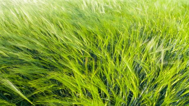 Green wheat fields dancing in the wind video